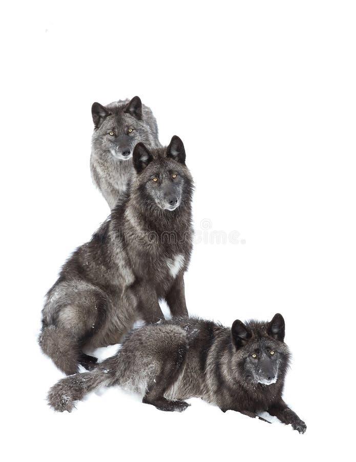 Czarni wilki w białym śnieżnym tle obraz royalty free