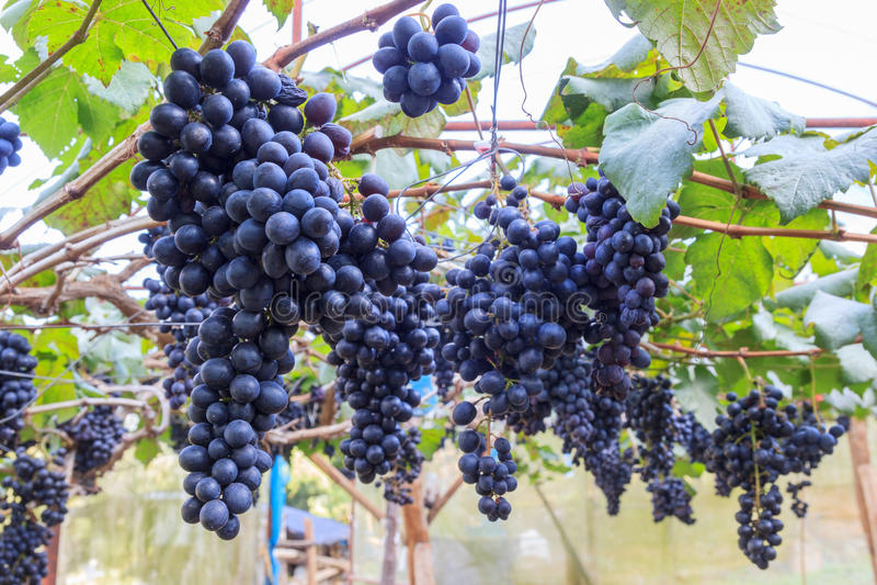Czarni winogrona w gospodarstwie rolnym z plamy tłem zdjęcia stock