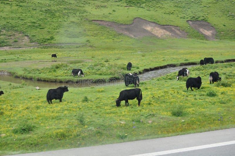 Czarni yaks na zielonych wzgórzach w Chiny obrazy stock