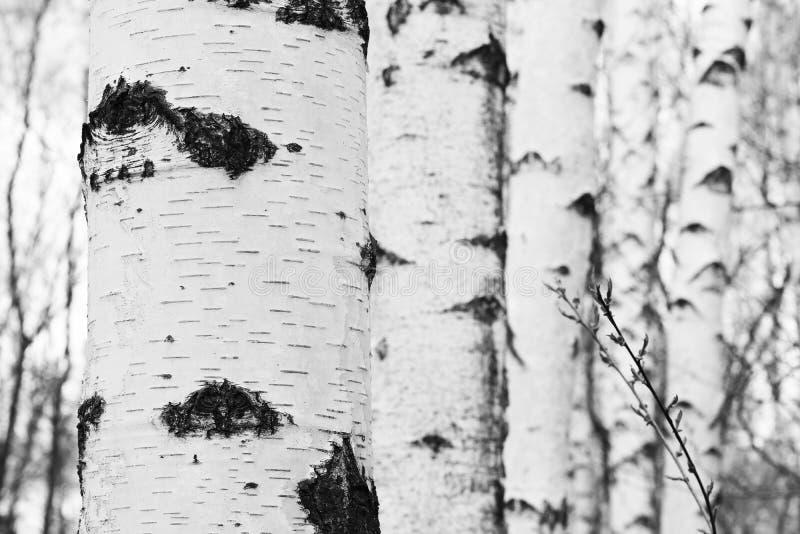 Czarno biały fotografia z białych brzoz brzozy gajem obrazy royalty free