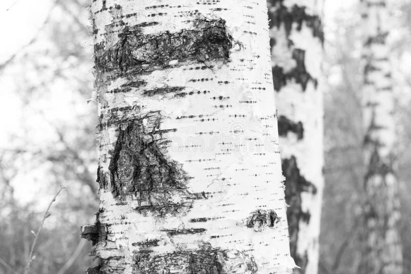Czarno biały fotografia z białymi brzozami z brzozy barkentyną obrazy royalty free