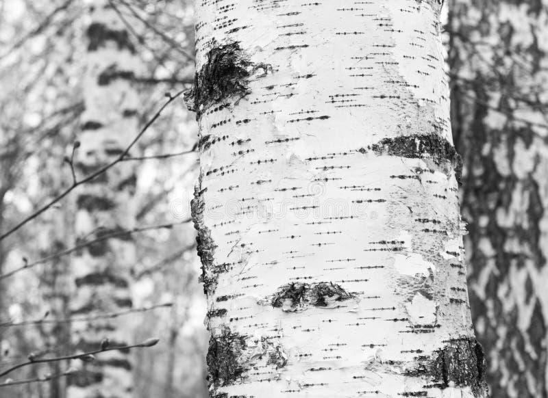 Czarno biały fotografia z białymi brzozami z brzozy barkentyną obraz stock
