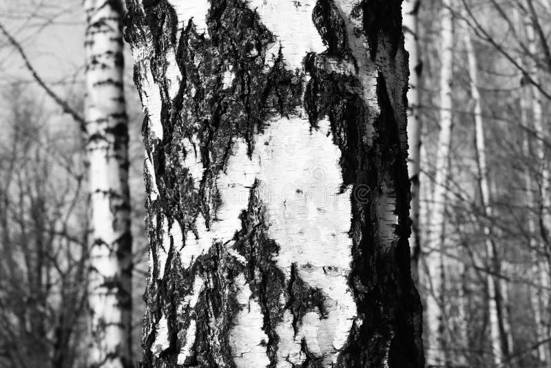 Czarno biały fotografia z białymi brzozami z brzozy barkentyną zdjęcia royalty free