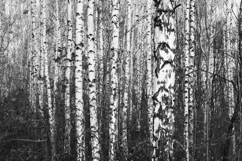 Czarno biały fotografia z białymi brzozami z brzozy barkentyną fotografia stock