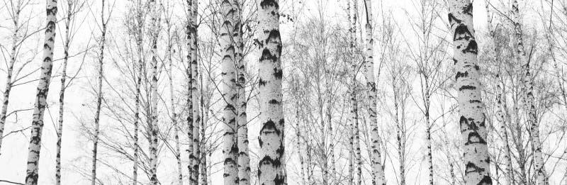 Czarno biały fotografia z białymi brzozami z brzozy barkentyną zdjęcie stock