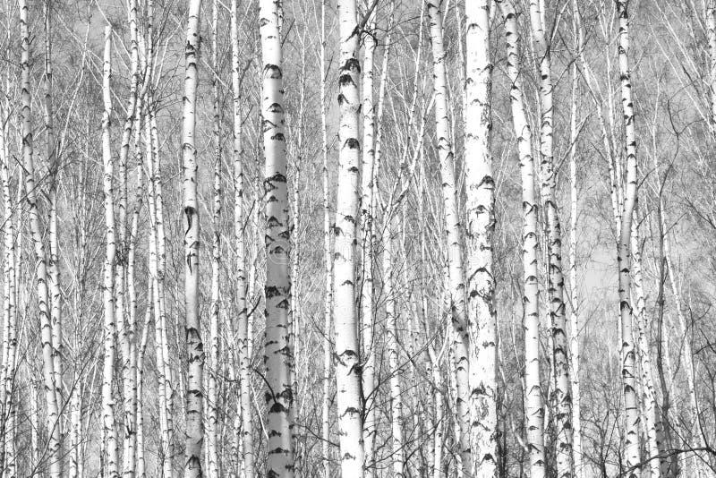 Czarno biały fotografia z białymi brzozami z brzozy barkentyną obraz royalty free