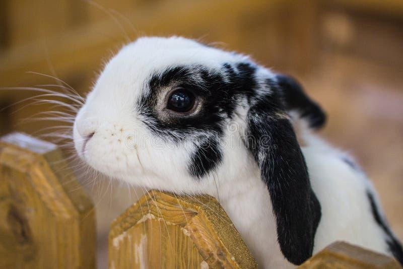 Czarno biały królik w kontaktowym zoo obraz stock