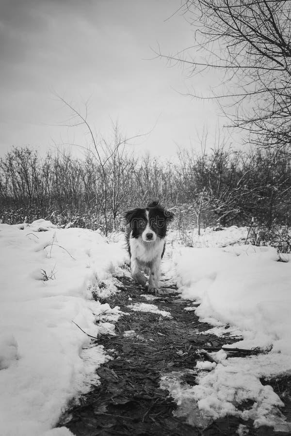 Czarno-biały pionowy portret psa, który przechodzi przez śnieg w lesie Zimny dzień, sezonowy nastrój, zdjęcie stock