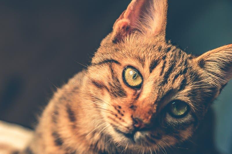 Czarno-brązowy kot tabby obrazy royalty free
