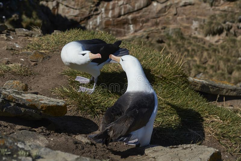 Czarnobrewy albatrosa koperczaki fotografia stock
