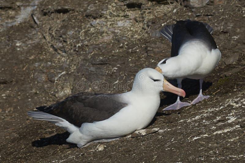 Czarnobrewy albatrosa koperczaki na Saunders wyspie zdjęcie stock