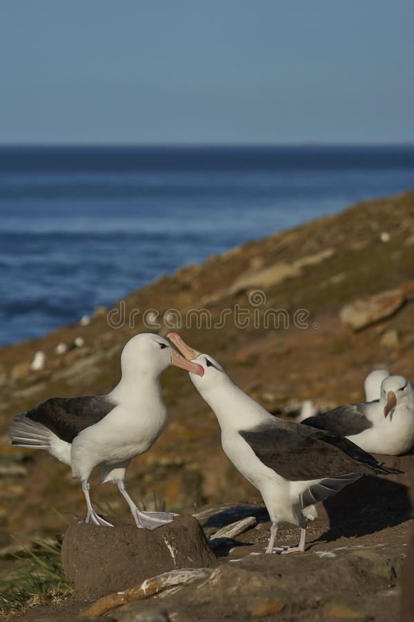 Czarnobrewy albatrosa koperczaki na Saunders wyspie obraz royalty free