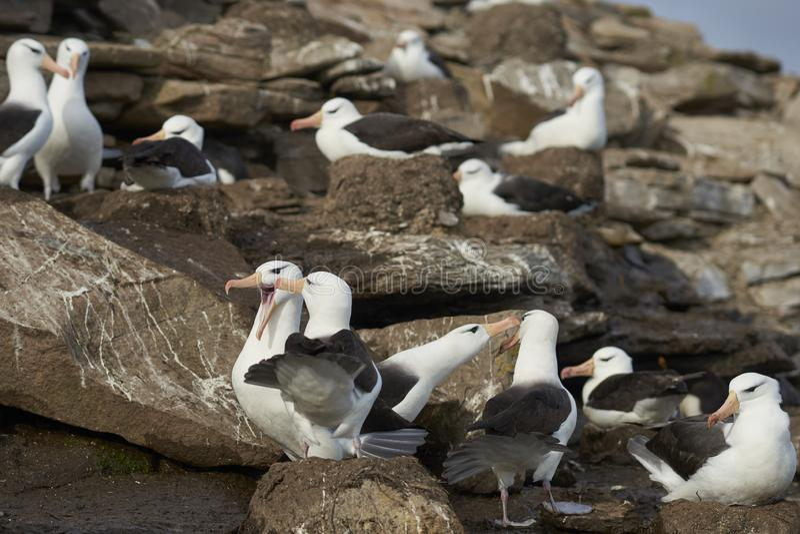 Czarnobrewy albatrosa koperczaki na Saunders wyspie obraz stock