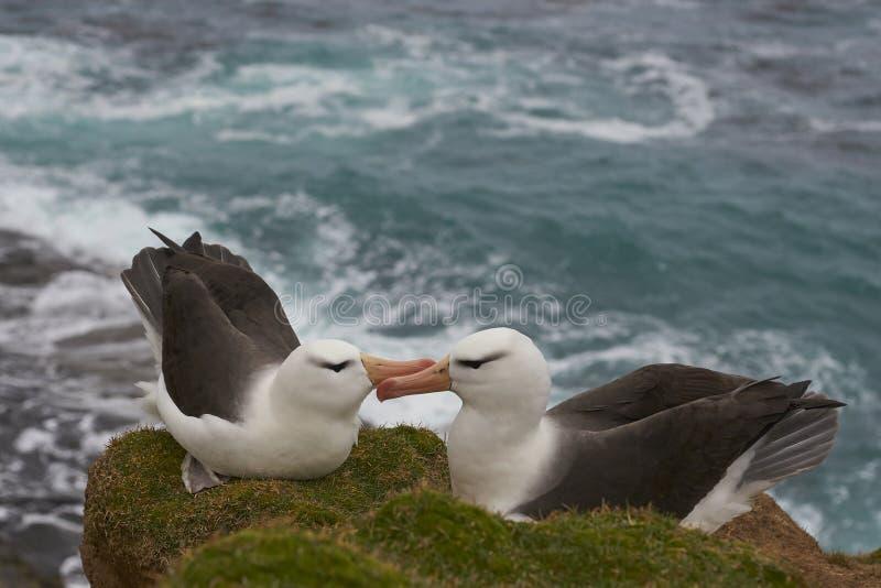 Czarnobrewy albatrosa koperczaki na Saunders wyspie zdjęcie royalty free