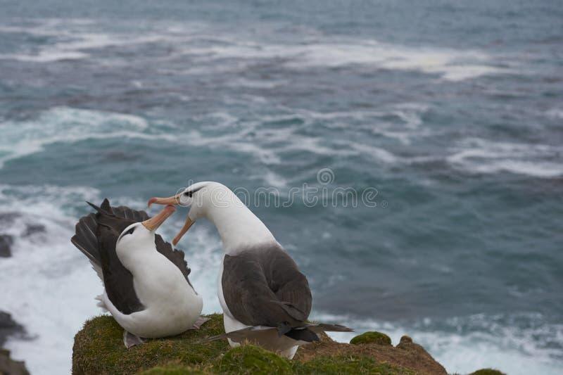 Czarnobrewy albatrosa koperczaki na Saunders wyspie zdjęcia stock