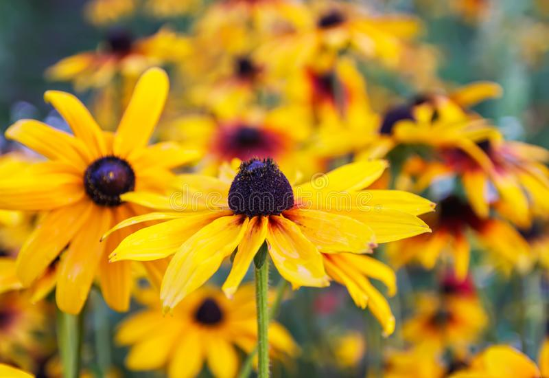 Czarnooki Susan lub Rudbeckia hirta roślina, brown Betty, gloriosa stokrotka, złoty Jerozolima obraz stock