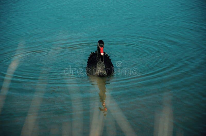 Czarny łabędź obraz stock