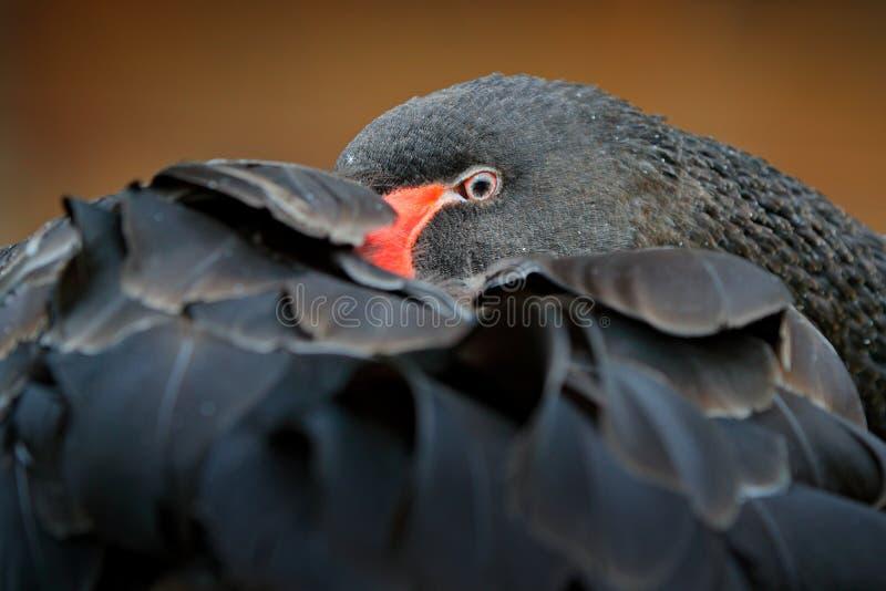 Czarny łabędź, Cygnus atratus, wielki waterbird od Australia Ptasi dosypianie na upierzeniu Przyrody scena od natury obraz stock