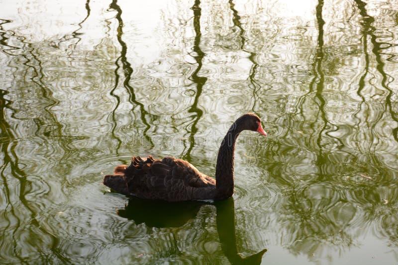 Czarny łabędź na lekkim jeziornym tle przy zmierzchem zdjęcie royalty free