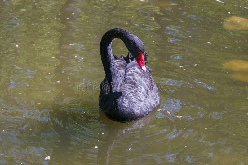 Czarny łabędź pływa w stawie zdjęcia stock