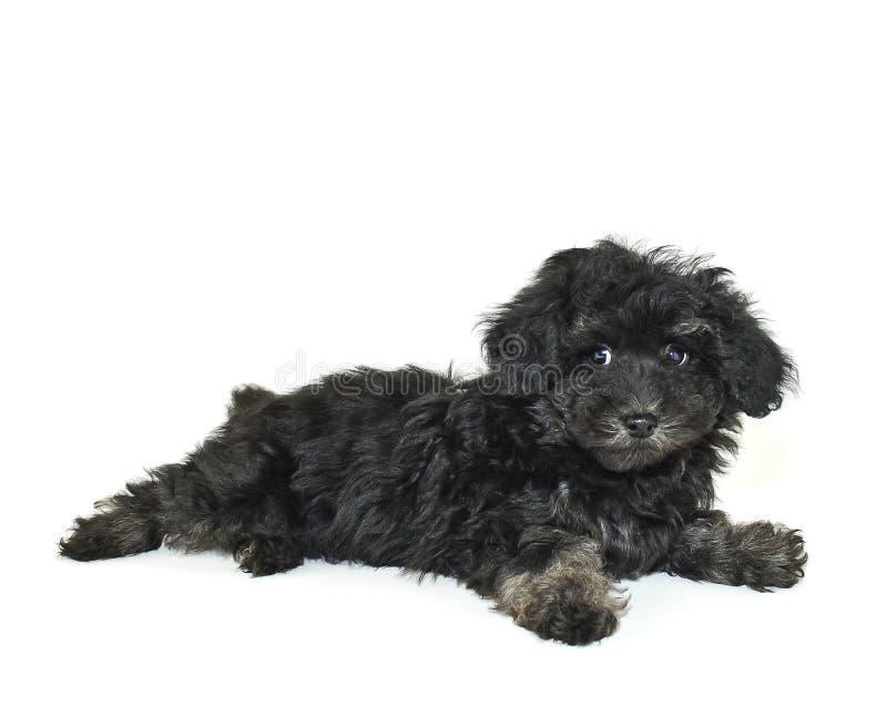 czarny śliczny mały malti poo szczeniak zdjęcie royalty free