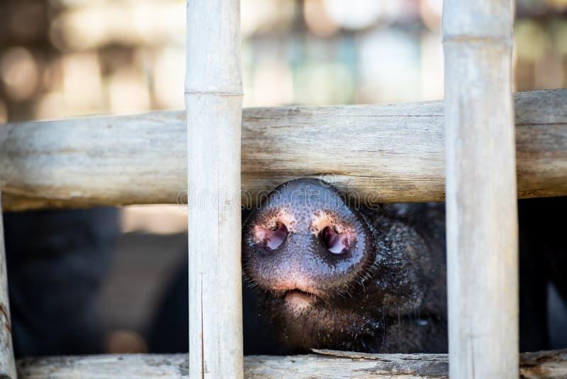 Czarny świniowaty nos zdjęcia stock