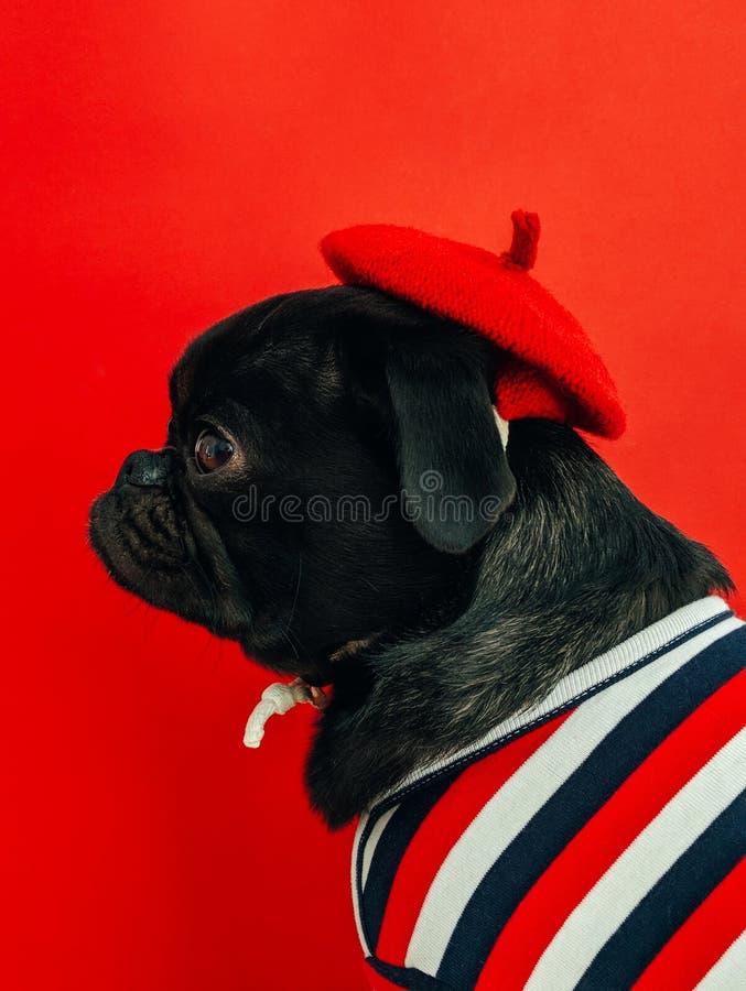 Czarny źrebię mopsa być ubranym biały i czerwień paskowaliśmy koszula ilustracja wektor