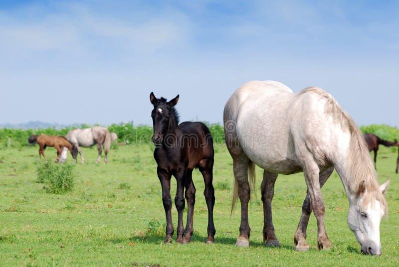 czarny źrebięcia koński paśnik zdjęcia royalty free