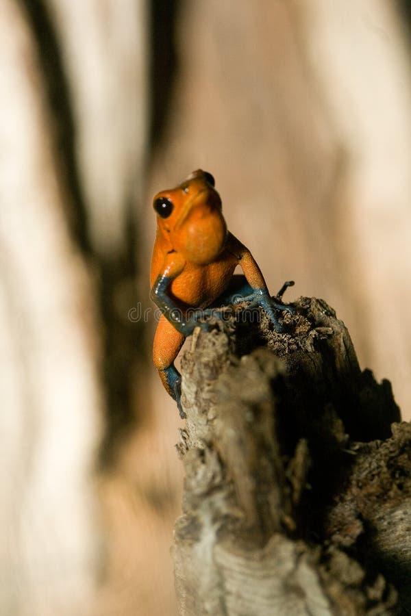 czarny żaba iść na piechotę jad zdjęcie stock