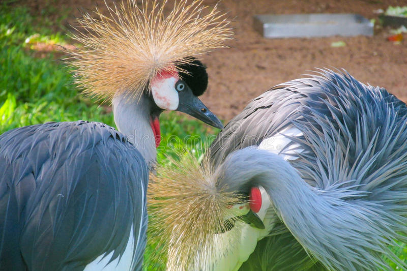 czarny żuraw koronował zdjęcie royalty free