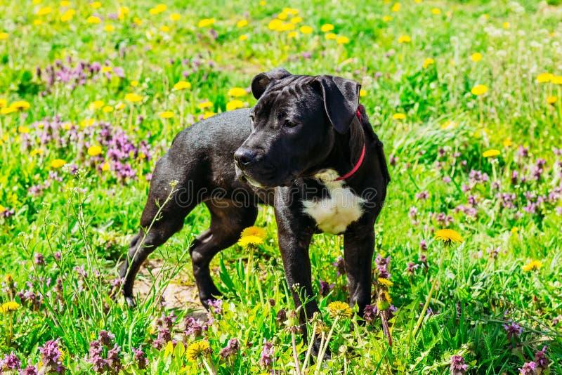 Czarny Amerykańskiego Staffordshire Terrier szczeniaka pies fotografia royalty free