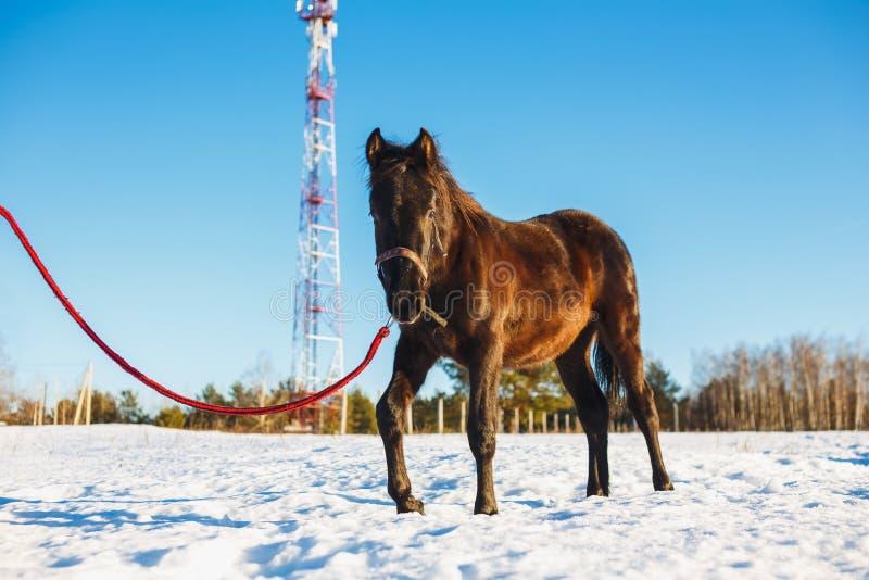 Czarny Arabski ogiera odprowadzenie w śniegu w polu zdjęcie royalty free