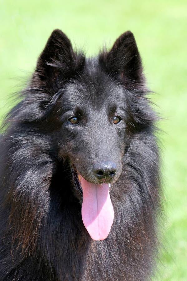 Czarny Belgijski Pasterski pies zdjęcia royalty free