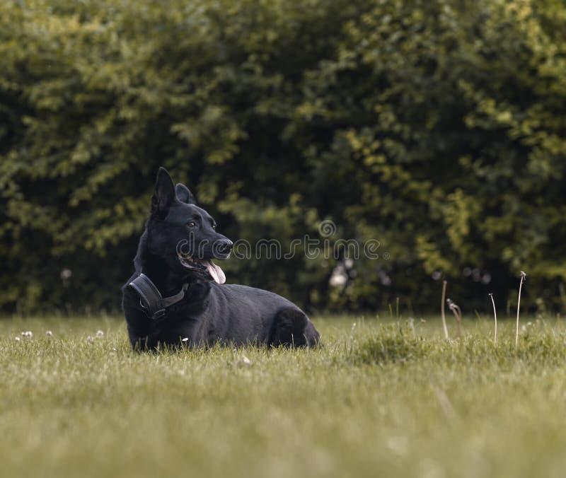 Czarny Belgijski Pasterski pies patrzeje w naturalnym parku zdjęcia royalty free