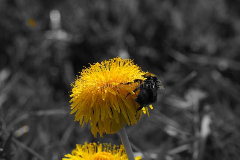 Czarny biały żółty kwiat na łące zdjęcie stock
