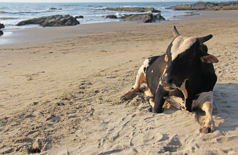 Czarny biały byk lub krowa kłamamy lub odpoczywamy na plaży na morzu, obraz stock
