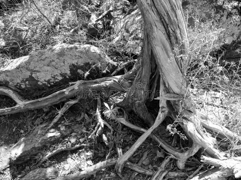 Czarny & Biały drzewo zdjęcia stock