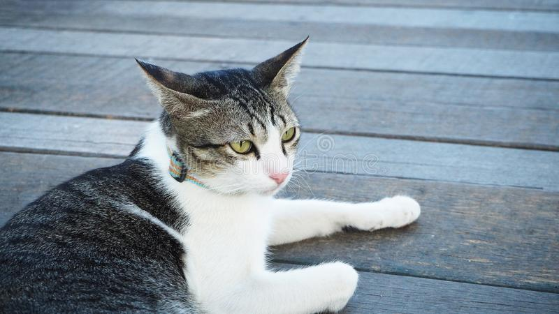 Czarny biały i popielaty śliczny kota lying on the beach na drewniany podłogowym patrzejący coś fotografia stock