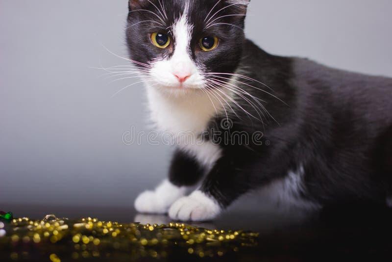 Czarny Bia?y kota spojrzenie, pi?kni oczy, koty, zwierz?ta domowe, szaro?? zdjęcia stock