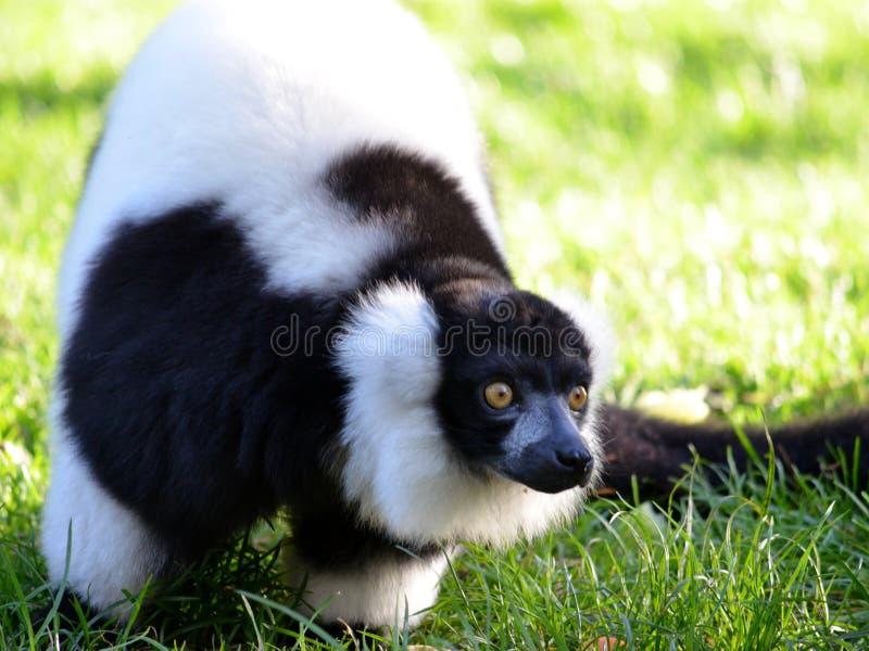 Czarny & Biały lemur obrazy stock