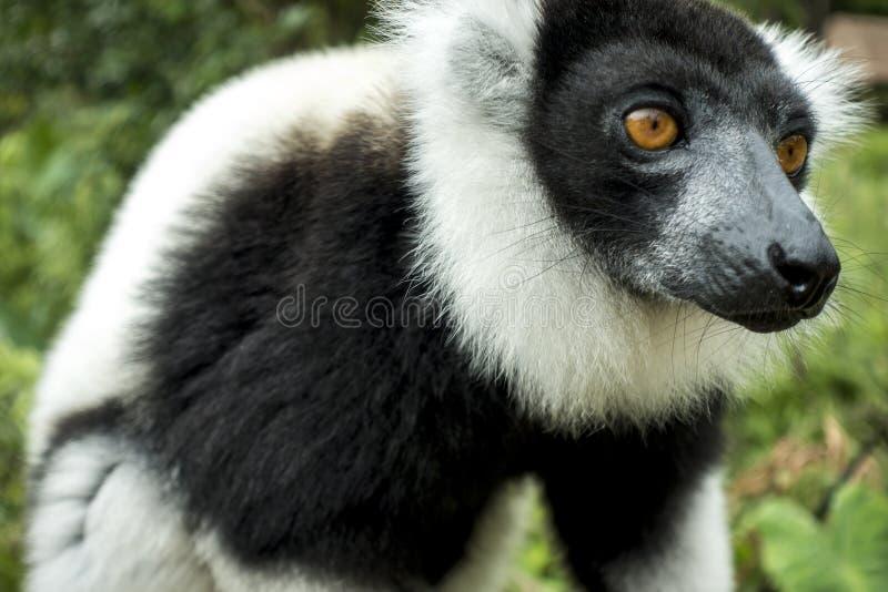 Czarny & Biały Napuszony lemur Varecia Variegata, Madagascar zdjęcie stock
