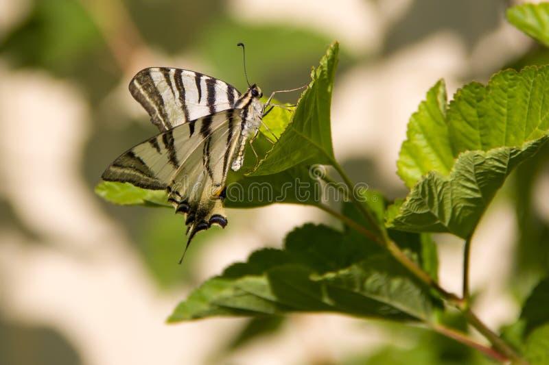 Download Czarny Biały Motyl W Dzikim Obraz Stock - Obraz złożonej z piękny, zwierzę: 57673591