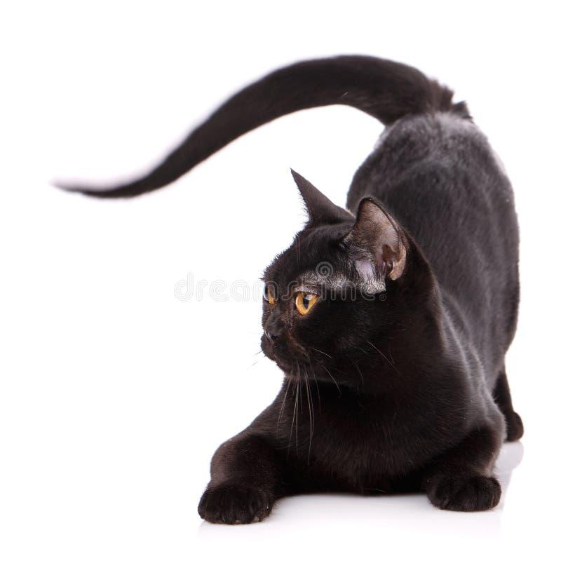 Czarny Birmański kot na białym tle obrazy royalty free