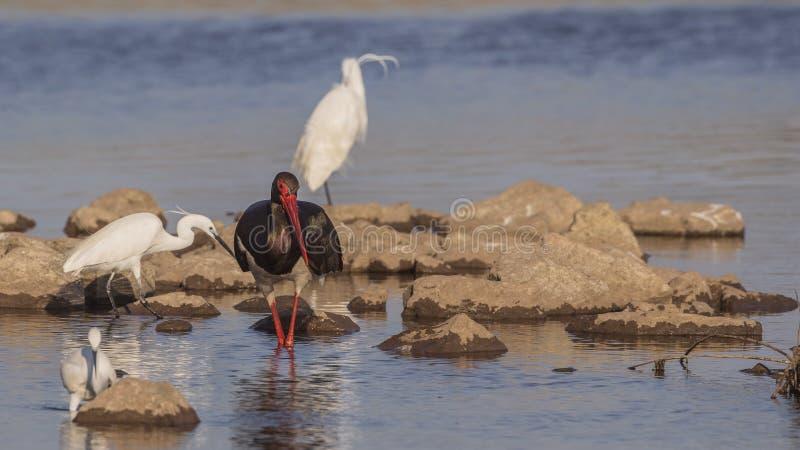 Czarny bocian i Mali Egrets obraz royalty free
