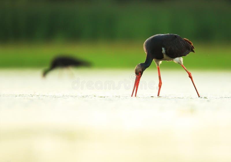 Czarny bocian na jeziorze zdjęcie stock