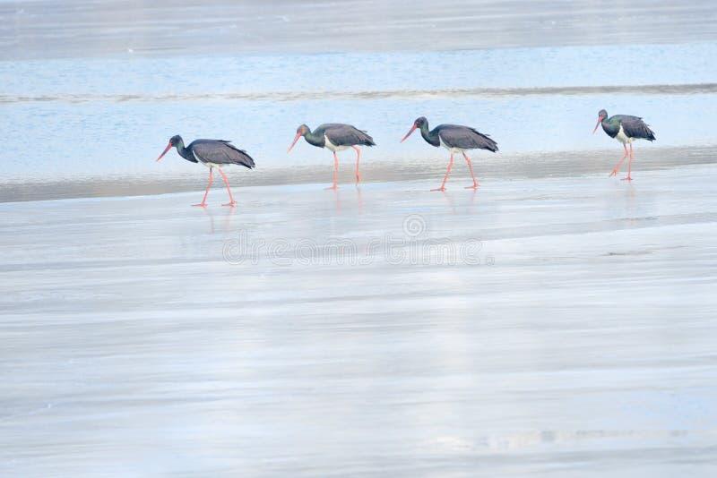 Czarny bocian w zimy rzece obraz stock