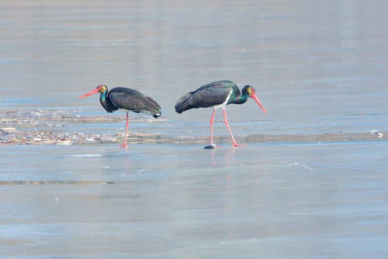 Czarny bocian w zimy rzece zdjęcie stock