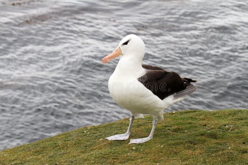 czarny browed albatrosa zdjęcie royalty free