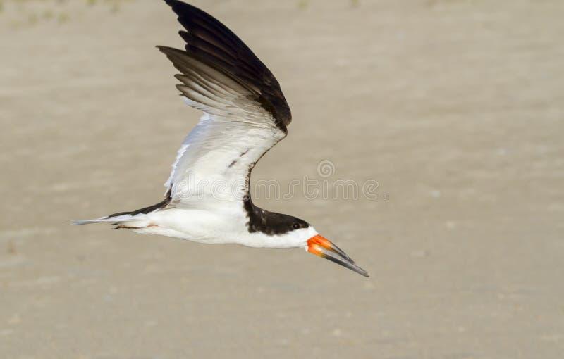 Czarny cedzakowy latanie nad plażą (Rynchops Niger) fotografia stock