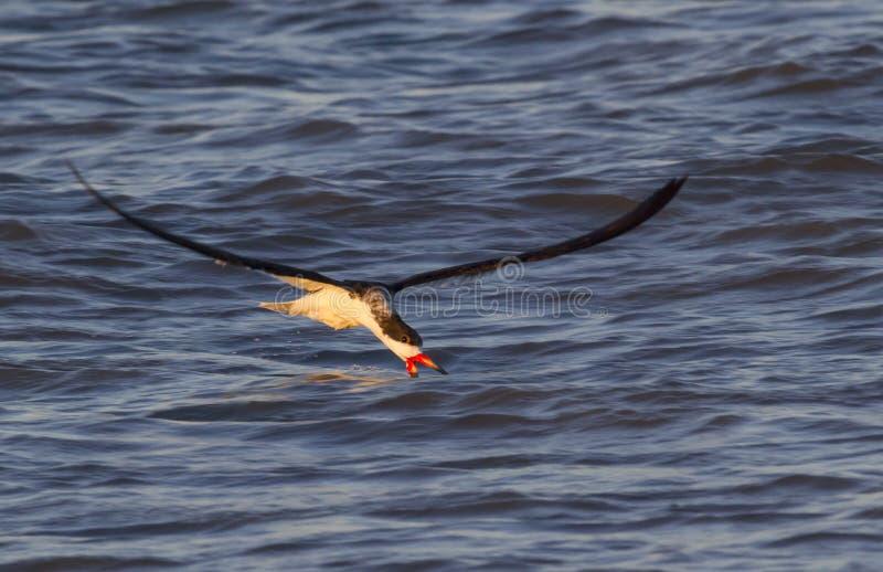 Czarny cedzakowy połów w oceanie przy zmierzchem (Rynchops Niger) zdjęcie stock